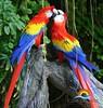 macaw_657014077 (Copy)