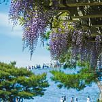 Hitachi Seaside Park With Wisteria