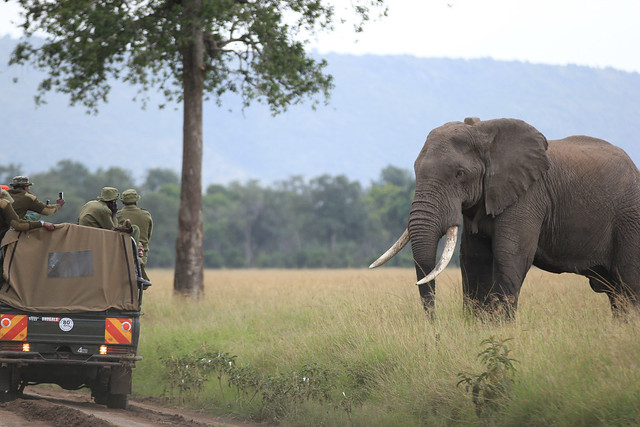 Huge male elephant facing off with forest rangers - Forest rangers attempt to stop the elephant from going into a thick wooded area so they can anesthetize him and treat him. Maasai Mara, Kenya, 2012