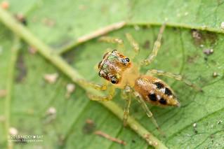 Jumping spider (Salticidae) - ESC_0091