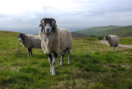 scary sheep | by dean.clementson