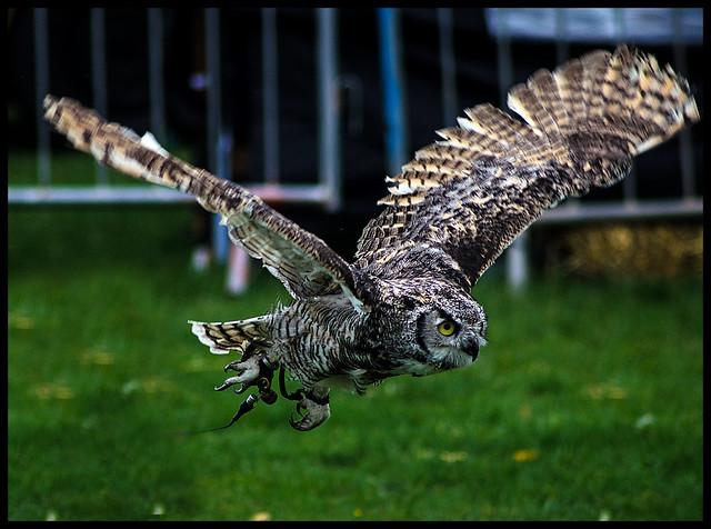 Robin Hood Game & Country Show - Owl Display 8