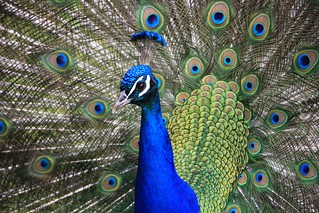 Peacock | by claireandre