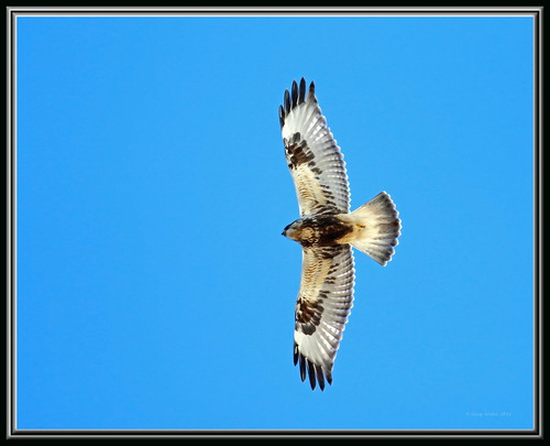 Rough-legged Hawk - Light Morph | by Gregs eBirds