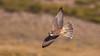 Lanner Falcon (Falco biarmicus) by Brendon White