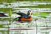 African Pygmy-goose, Anserelle naine (Nettapus auritus) - So-Ava, BENIN -2011-06-19 by brun@x - Africa Wildlife