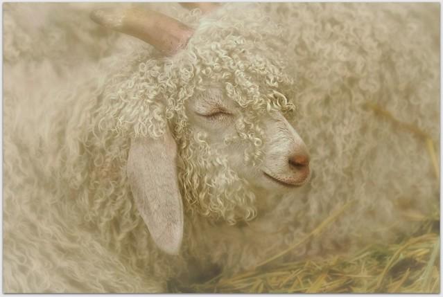 Counting Sheep #1818