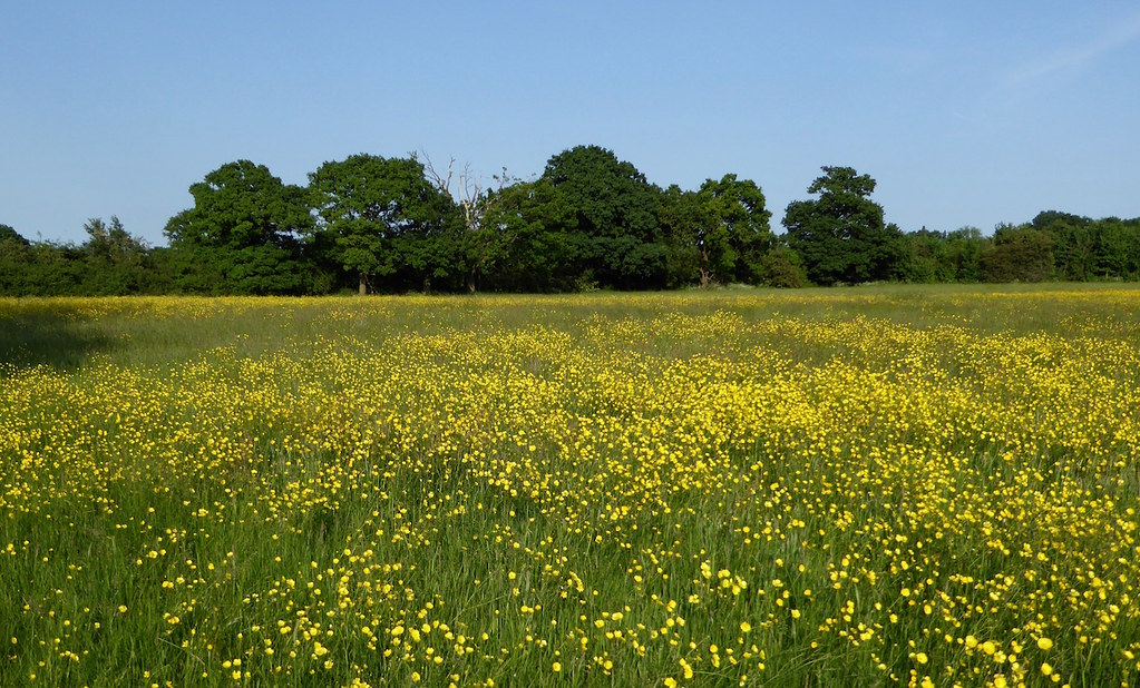 Buttercups in early June Totteridge Circular walk
