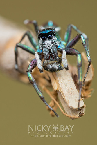 Jumping Spider (Cosmophasis sp.) - DSC_2315 | by nickybay