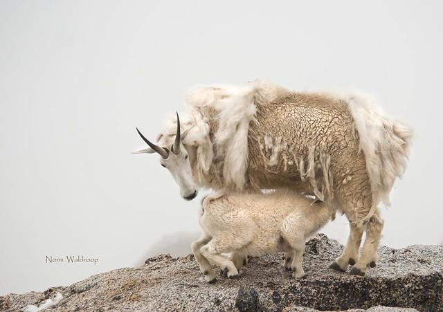 Mountain Goat Nursing on a Foggy Cliff
