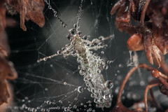 A little insect Under Cover by dew drop at spider web