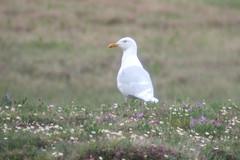 Glaucous Gull, 6/22/2013, Dalton Hwy., AK