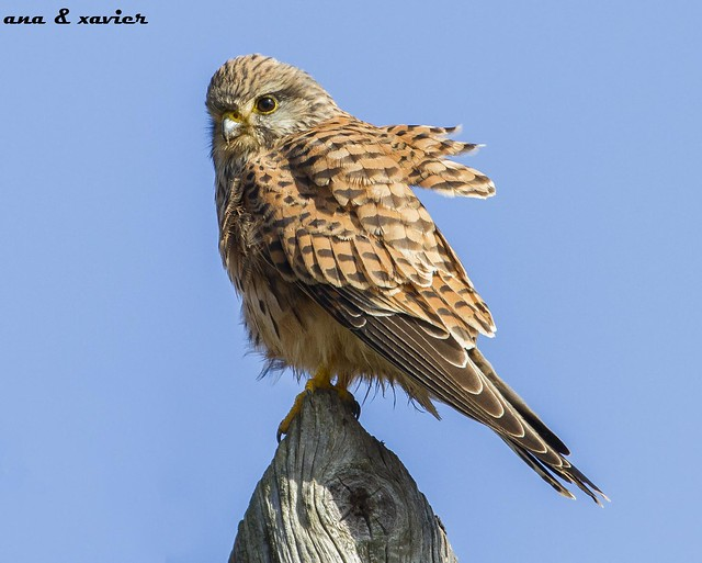 Peneireiro Vulgar, Common Kestrel (Falco tinnunculus) - em Liberdade [WildLife]