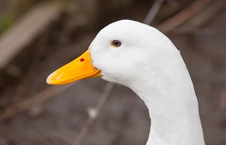 Pekin Duck | by Richard Heyes