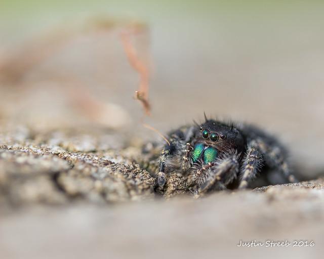 Daring Jumping Spider 2