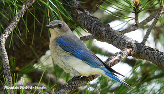 -Bluebird-Mtn-Female-Capulin Volcano, NM | by Tricolor Brian