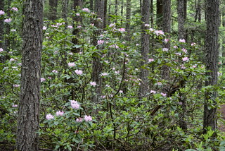 WILD RHODODENDRONS BLOOMING  WITH BEAUTIFUL FLOWERS AND INTENSE COLOR IN THE DARK FORESTS OF THE NORTHERN CASCADE MOUNTAINS,  BC.
