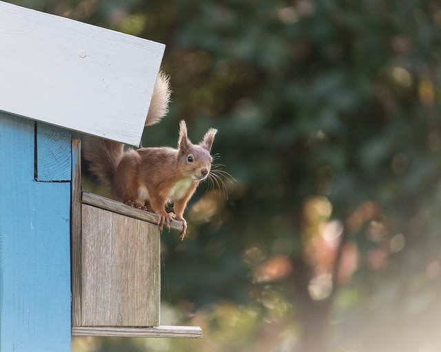 Red Squirrel. IMG_3996