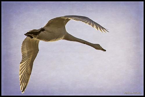bird nature swan lintu joutsen huittinen raijalanjärvi