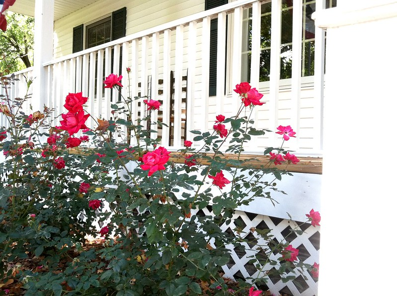 knockout rose bushes