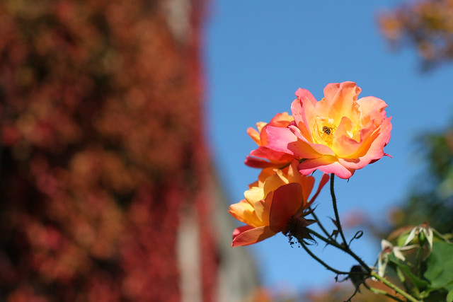 Autumn Flower (and bee)
