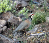 Red-legged Partridge by upperwinskill