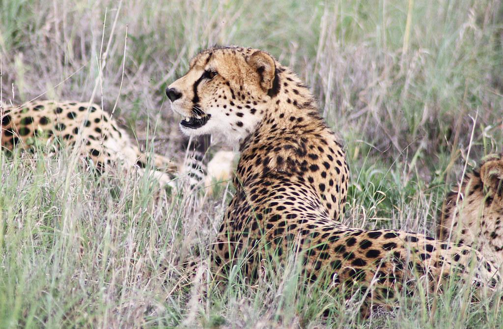 887fdbfaba03 cheetah spots