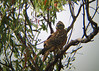 red goshawk, Queensland by Wildlife photos by Paul Donald