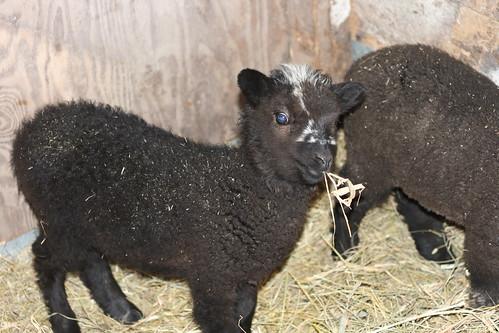 Lambs - Rebel | by Virtualdistortion