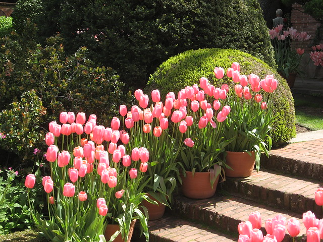 Pink tulips on the Sunken Garden stairs,  up to the garden wall building IMG_0008 duplicate