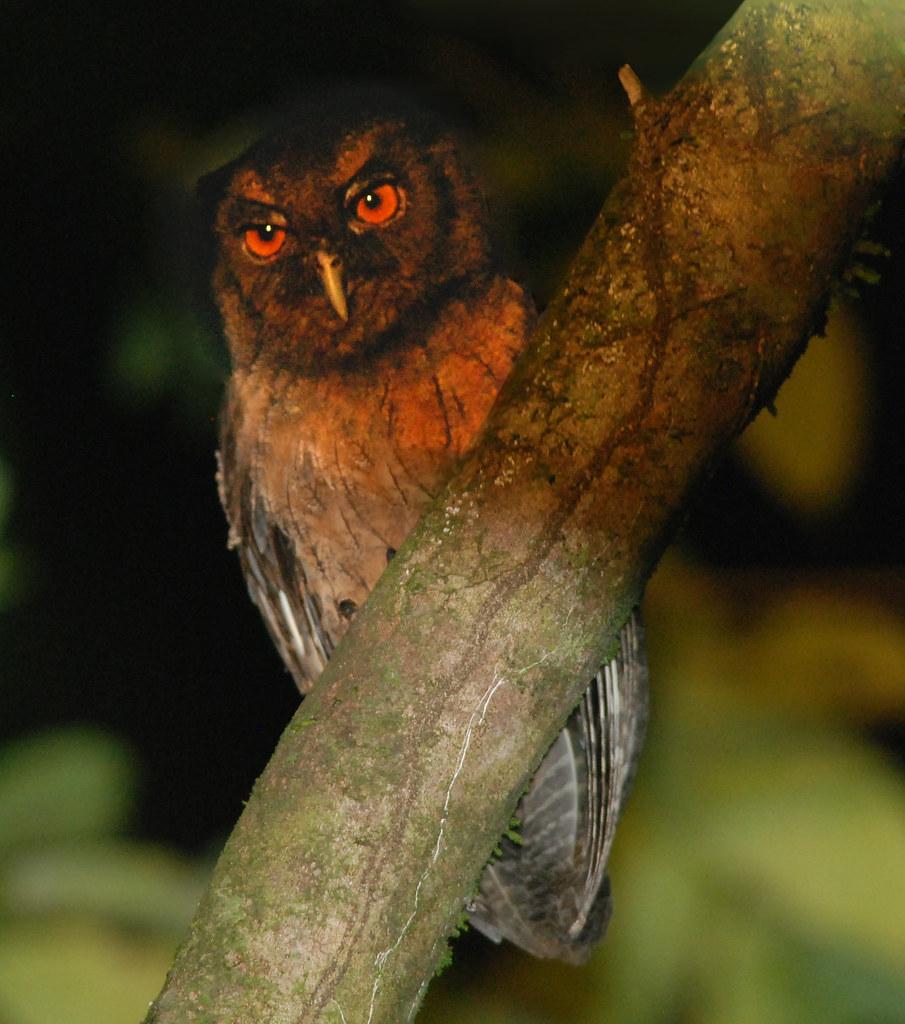 Tawny-bellied Screech Owl