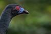 Chamaepetes unicolor, Black Guan at dawn by Daniel Mclaren .:. Naturalist Guide CR