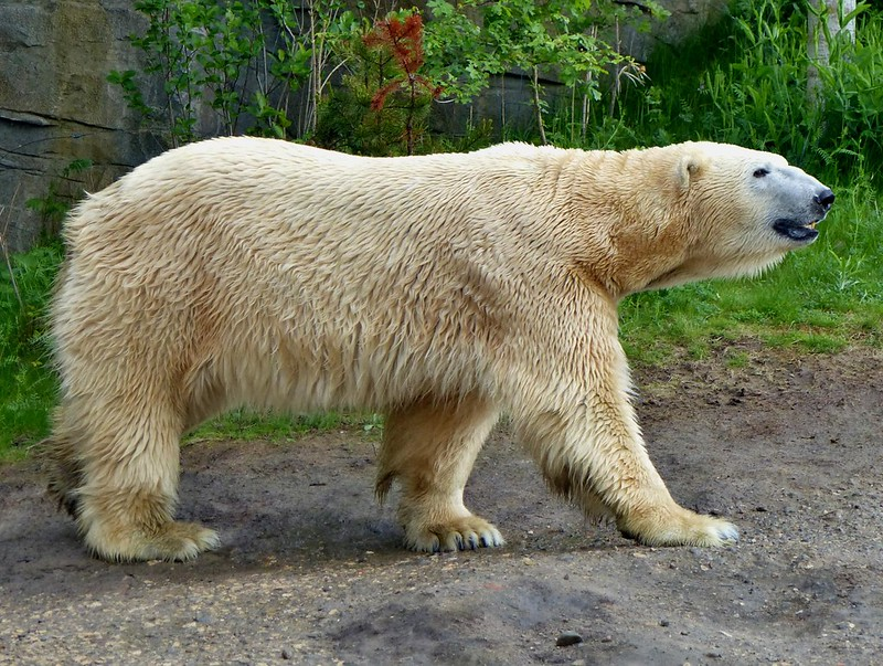 Polar Bear 'Kap'