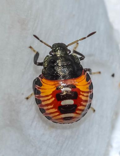Podisus 3rd instar