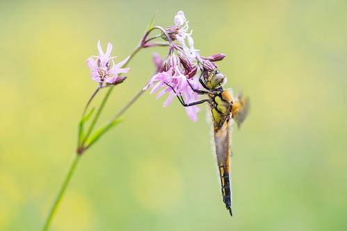 butterfly vlinder leersum wimzilver wimboon canoneos5dmarkiii canonef100mmf28lmacroisusm