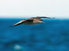 Short-tailed Shearwater (Ardenna tenuirostris) by David Cook Wildlife Photography