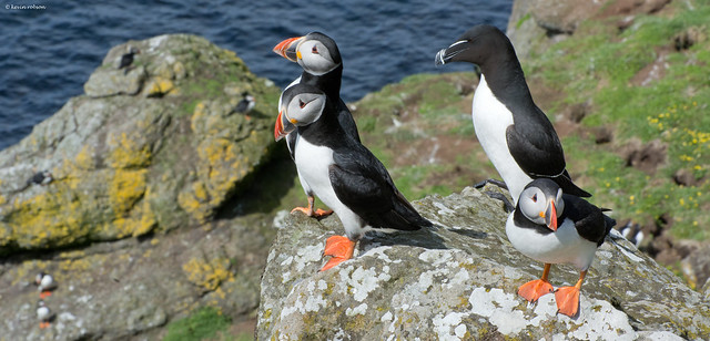 Panto Puffins (3 more in the comments)