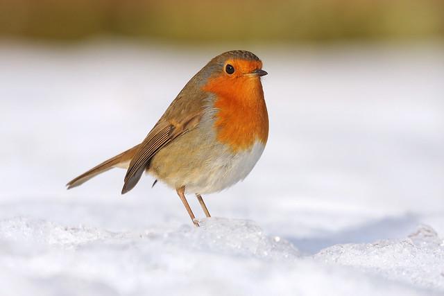 Robin, 27 December  09 097a