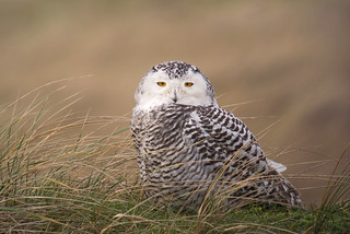 Snowy owl (Bubo scandiacus), Vlieland, Netherlands   by Frank.Vassen
