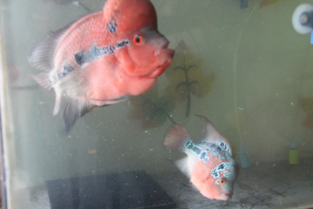 Marziyas Super Red Dragon Flowerhorns Breeding Pair | Flickr
