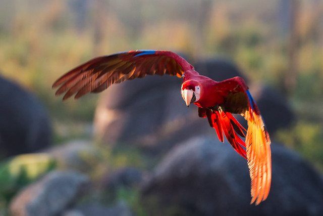 Scarlet Macaw in the golden light