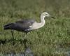 White-necked Heron by Chris.Kookaburra