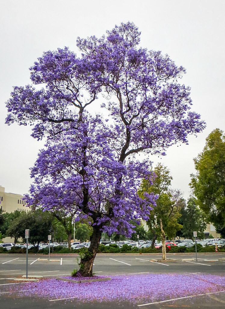 Jacaranda Tree Project 365 141 365 Spring Around Orange Flickr