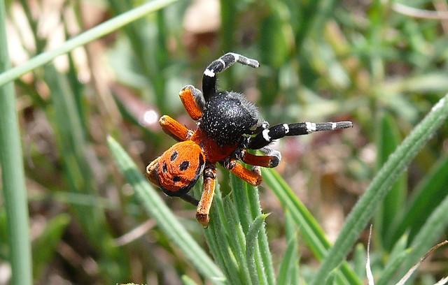 LADYBIRD SPIDER (3)
