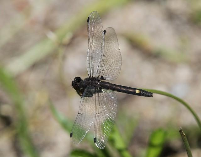 Dot-tailed Whiteface (Leucorrhinia intacta) Andromorphic Female