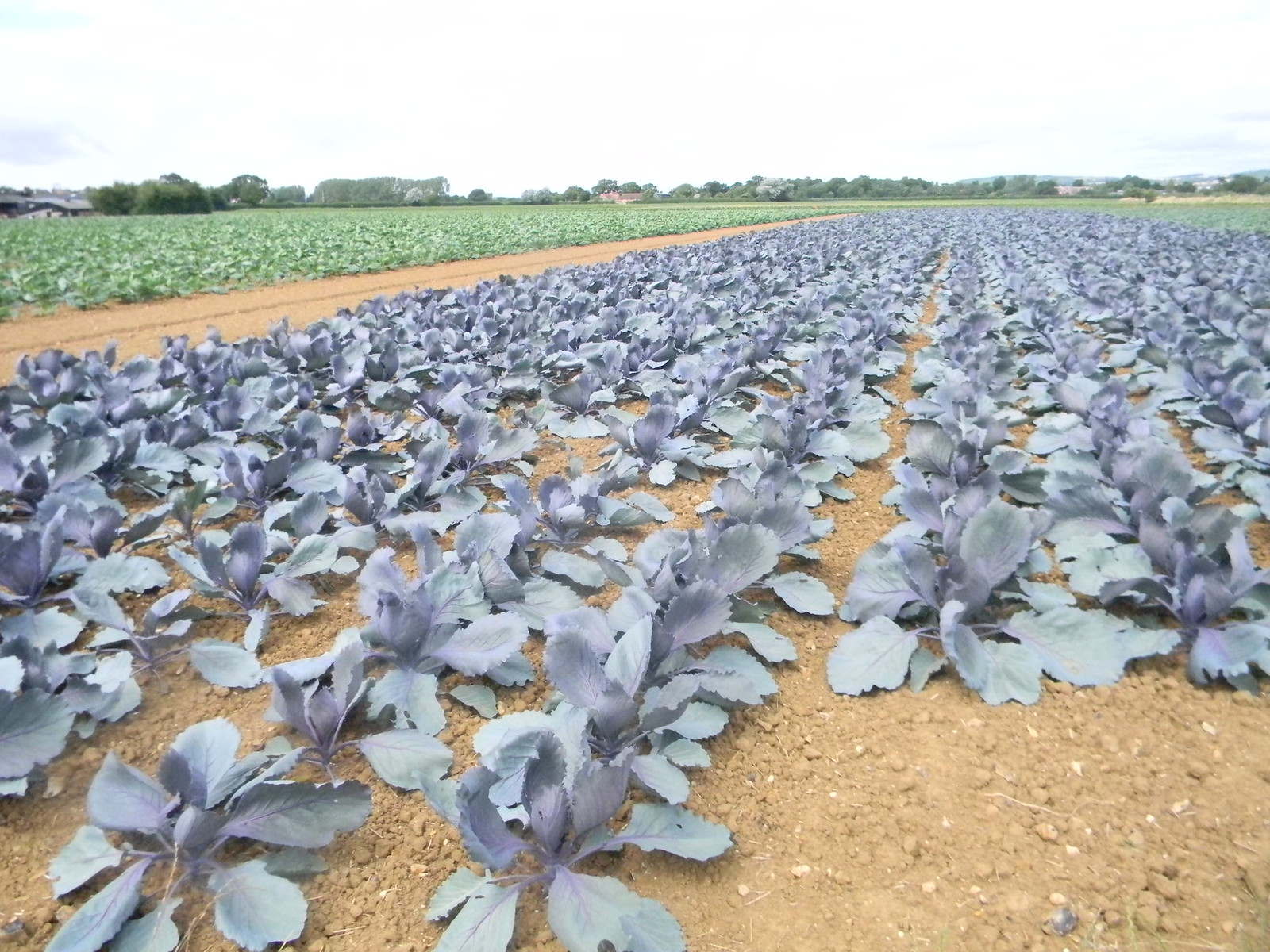 Red cabbage Southbourne to Chichester