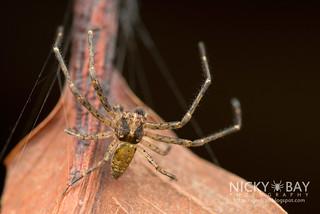 Crab Spider (cf. Tmarus sp.) - DSC_2349