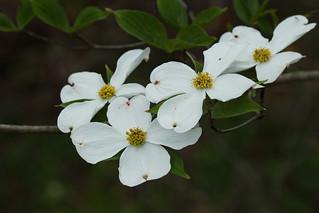Cornus florida (flowering dogwood) | by tgpotterfield