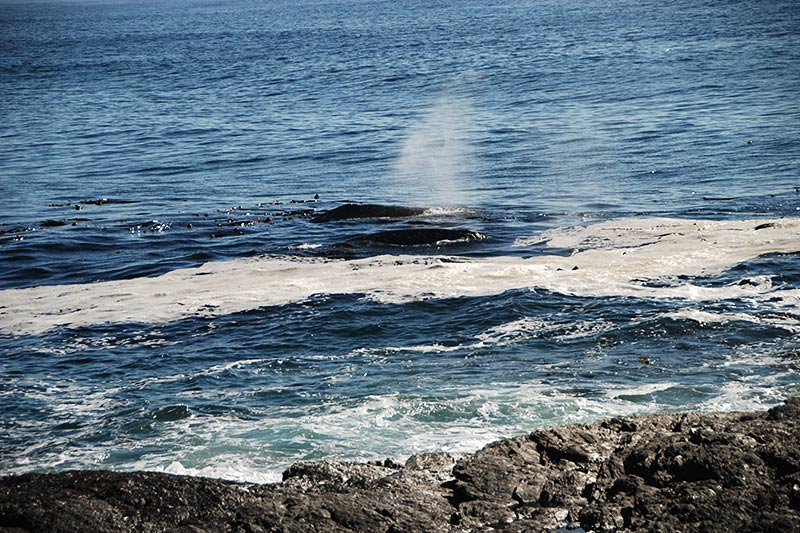 Two Humpback Whales foraging just metre off the rocks at Botanical Beach, Juan de Fuca Provincial Park, Port Renfrew, British Columbia, Canada