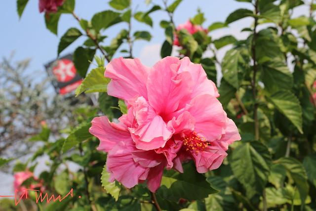 Hibiscus Rosa Sinensis, El Salvador